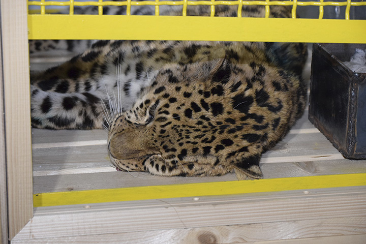 Leopard put into the special box
