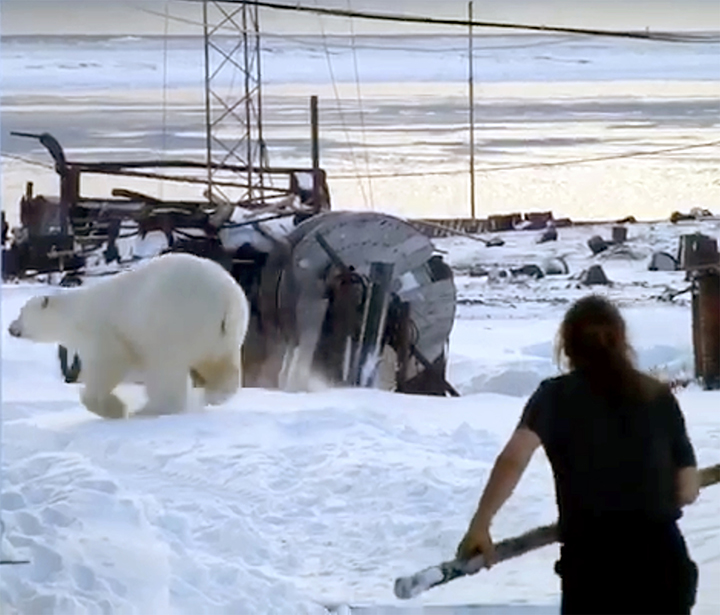 Polar bear in a tangle on Wrangel when it comes scavenging for food