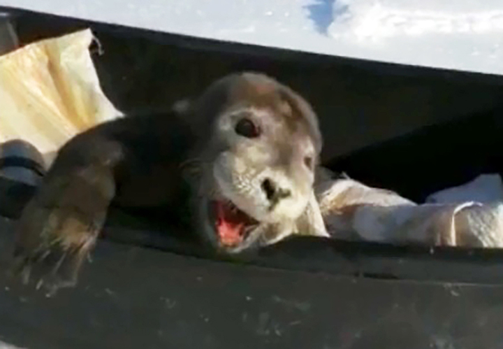 Crying baby seal 'rescued' by fishermen dies as ecologists beg to never touch young pups